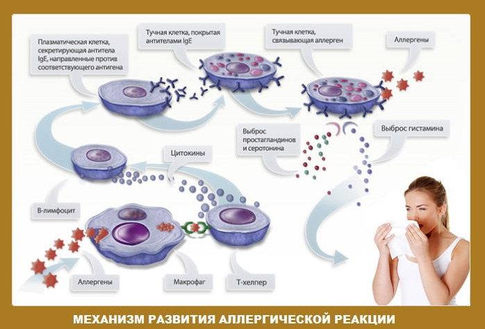 Механизм развития аллергической реакции ведущей к бронхоспазму