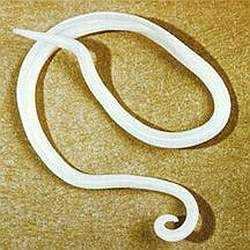 Аскарида - червь