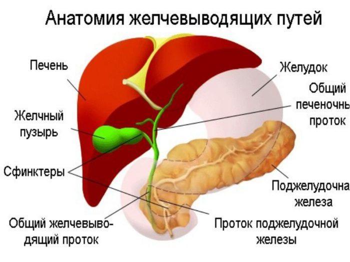 Анатомическая картинки желчевыводящих путей
