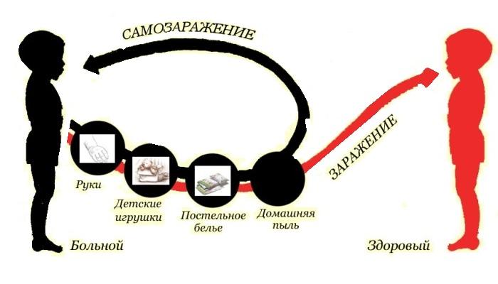 Схема появления энтеробиоза