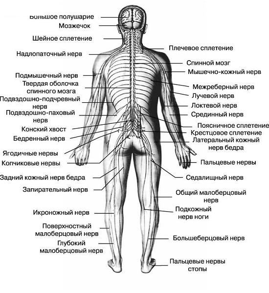 Система Нервная Центральная (Цнс)